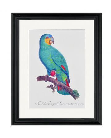 Large Parrot VII - Jacques Barraband