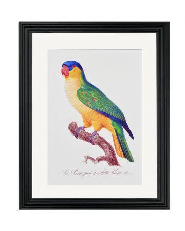 Large Parrot VIII - Jacques Barraband