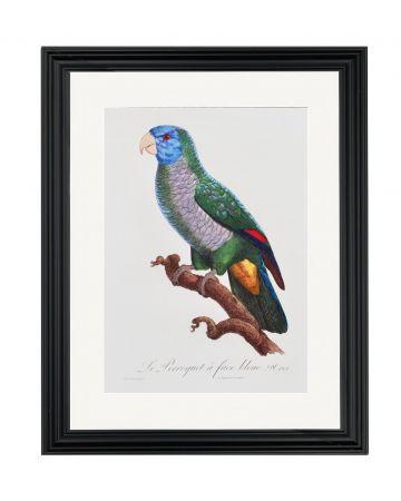 Large Parrot IX - Jacques Barraband