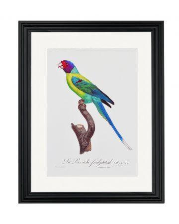 Large Parrot I - Jacques Barraband