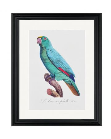 Large Parrot IV - Jacques Barraband