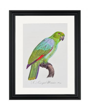 Large Parrot V - Jacques Barraband