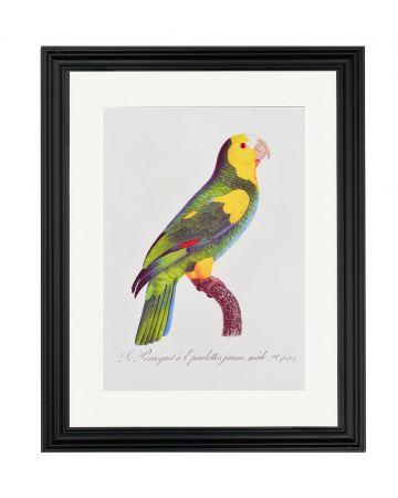 Large Parrot VI - Jacques Barraband