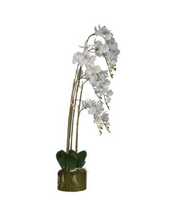 White XL Phalaenopsis - 145cm