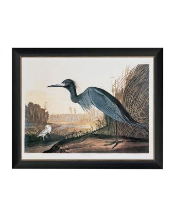 Audubon's Blue Crane