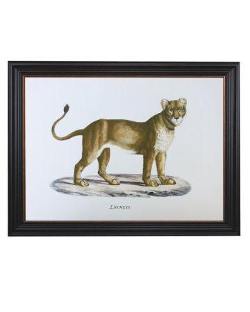Framed Lioness Print