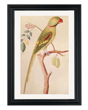 Alexandrine Parakeet - Right