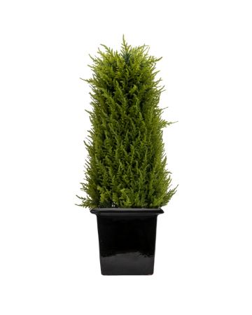 Juniper Topiary Obelisk-Short