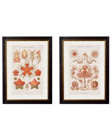 Study of Star & Jellyfish Set of 2 Prints