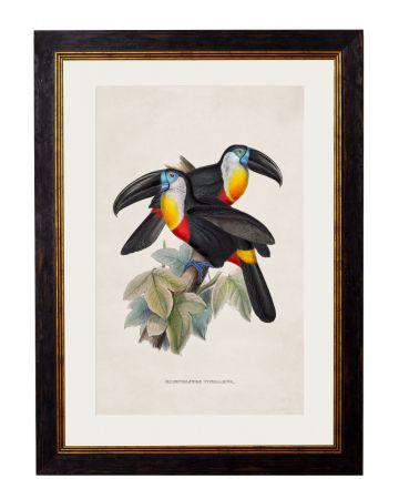 Plain Billed Toucans Print