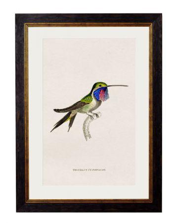 Cyanopagon Hummingbird Print
