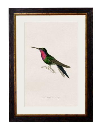 Furcatus Hummingbird Print