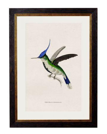 Loddigesii Hummingbird Print