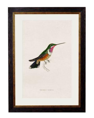 Orthura Hummingbird Print