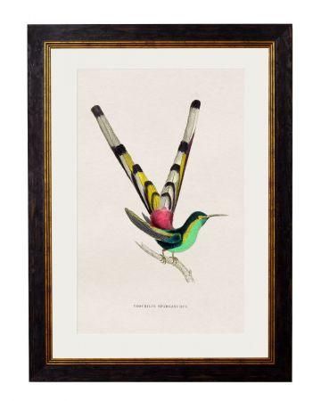 Sparganurus Hummingbird Print