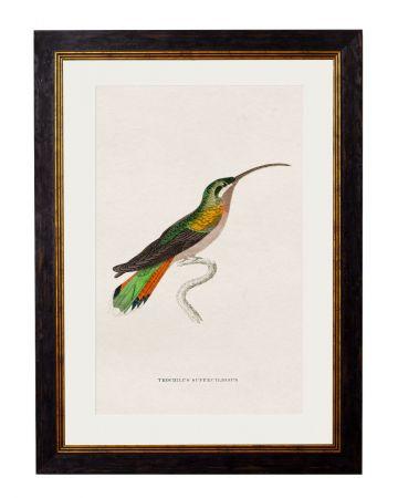 Superciliosus Hummingbird Print