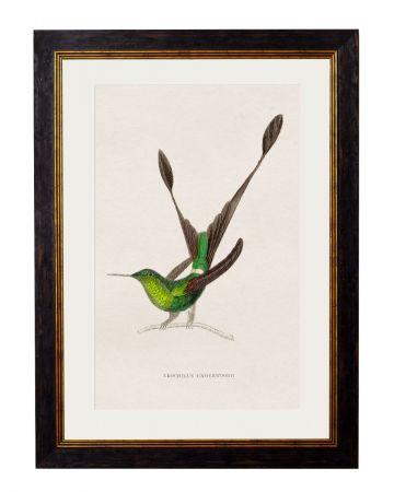 Underwoodii Hummingbird Print