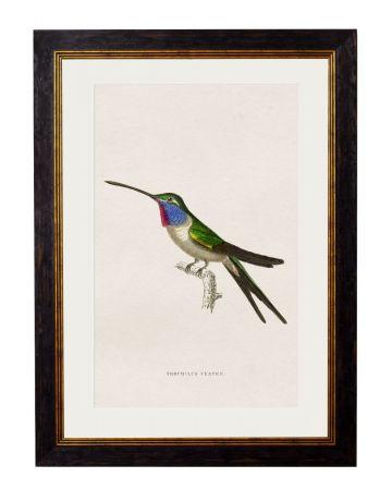 Vesper Hummingbird Print