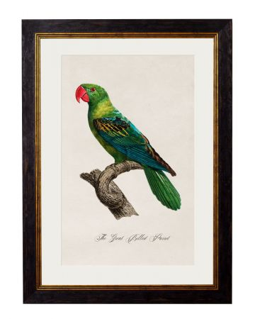 C.1809 Great Billed Parrot