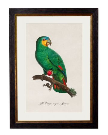 C.1809 Orange Winged Amazon