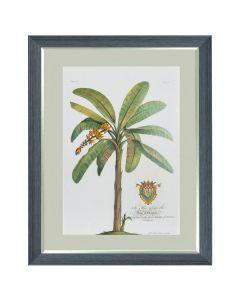 Banana Tree - Georg Dionysius Ehret
