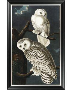 Audubon's Snowy Owl