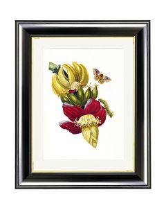 Inflorescence of Banana - Maria Sibylla Merian