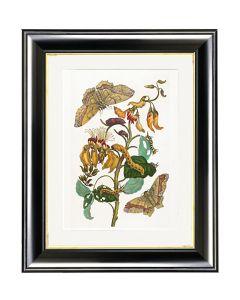 Emperor Moth on Coral Tree - Maria Sibylla Merian
