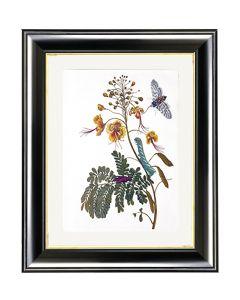 Peacock Flower - Maria Sibylla Merian
