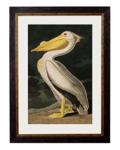 American white Pelican print
