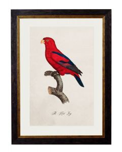 C.1809 Red Lory