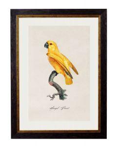 C.1809 Senegal Parrot