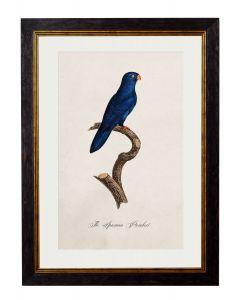 C.1809 Sparman Parakeet