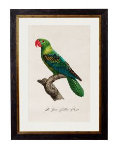 C.1809 Great Billed Parrot