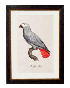 C.1809 Grey Parrot