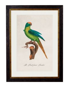 C.1809 Peach Fronted Parrot