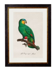 C.1809 Orange Winged Amazon